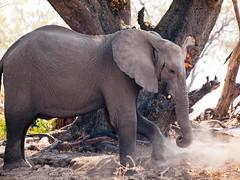 The Dust Up (#WorldElephantDay) (iamfisheye) Tags: worldelephantday 2013 50200mm africa african animal botswana camera ec14 kit lens olympus safari selinda wilderness zd zuiko e3 elephant