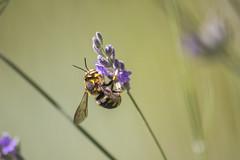 _MG_1776 (Arthur Pontes) Tags: flower green primavera nature field insect spring natureza flor deep bee abelha mosquito inseto campo deepoffield lavanda plem