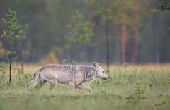 The Wolf, wild, male (Canis lupus) (MatsOnni) Tags: susi wolf canislupu alphamale kuhmo finland
