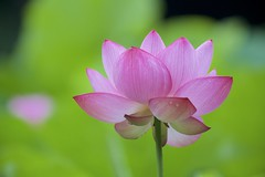 Lotus flower (joka2000) Tags: lotus  droplet