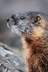 Marmot up Close (HubbleColor {Zolt}) Tags: wildlife travel yellowstonenationalpark marmot wy wyoming unitedstates us