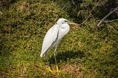 Solitude (malc1702) Tags: littleegret egret birds largebirds migration migratorybirds nature wildlife animals greenfeet lonely nikond7100 tamron150600