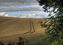 Cornfield near Farley Mount in Hampshire (neilalderney123) Tags: 2016neilhoward lanscape cormfield barley wheat farmwinchester olympus