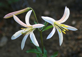 Lilium_washingtonianum_McKenzie_4_2