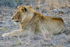 Watching (MarcCooper_1950) Tags: lion lioness africa wild wildlife bush safari bigfive predator bigcats biggame animals feline fauna goldenhour sabisands arathusa lodge marccooper panasonic lumix fz1000 leica iightrrom hdr
