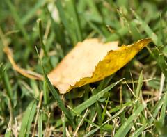 Leaf - fallen (tarboxje) Tags: leaf fallenleaf yellowleaf curl yellow grass riverbirch