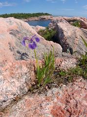 Iris at Green Cove (scott_clark) Tags: novascotia capebretonhighlandsnationalpark wideangle flower iris shore rocks gneiss granite atlantic ocean nature outdoors
