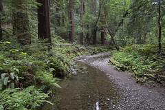 Muir Woods (Richard Thelen) Tags: art sanfrancisco muir woods notanudebeach nohdr trip travel usa california canon6d