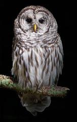 From the Shadows (mLichy911) Tags: barred owl raptor portrait detailed closeup summer wa pnw seattle nature canon 7dmarkii 500f4 wildlife bird igotmyeyeonyou stare wild nocrop