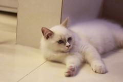 20160809-026 (Snowy Olaf) Tags: kitten britishlonghair       feliscatus  canon 5dmarkiii ef100400mm4556lis f4556