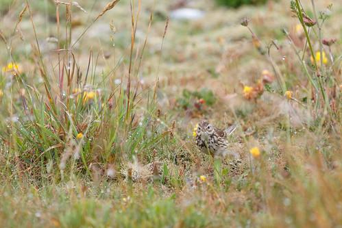 Linotte mélodieuse (Linaria cannabina) femelle