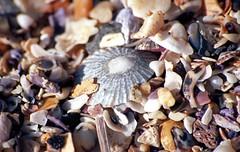 Shelly Beach [Nikon F5 Film] (Aviator195) Tags: kodak kodakfilm kodakektar kodakektar100 ektar ektar100 ektarfilm film filmphotography filmisnotdead filmphotos filmscan filmphoto nikon nikonfilm nikonf5 f5 epson epsonperfectionv550 epsonv550 v550 highquality highqualityfilmscan macro small closeup sand sandy shelly beach manly manlybeach shellybeach northernbeaches tiny shells shell sigma