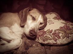Sweet dreams (missfisher') Tags: dog beagle