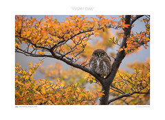 Pygmy owl (www.sicilylandscape.com) Tags: owl civetta civettanana pygmy patagonia autumn cile torresdelpaine
