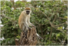 The Poser (MAC's Wild Pixels) Tags: theposer monkey vervetmonkey sunbathing earlymorning wildafrica wildanimal wildlife africa nairobinationalpark nairobi nairobikenya kenya macswildpixels outdoor chlorocebuspygerythrus coth5 ngc