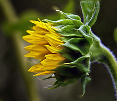 Sunflower Imitates Wind (Vidterry) Tags: sunflower