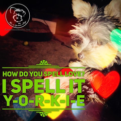 Thats how you spell it too, right? (itsayorkielife) Tags: yorkiememe yorkie yorkshireterrier quote