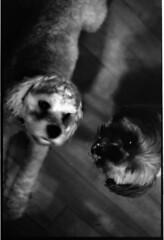 Sheepdog and the mutt (Maddyphotographer) Tags: sheepdog mutt rescue adoptdontshop rescuedogs shihtzu mutts dogs dog film pentax pentaxk1000 k1000 filmisnotdead