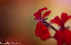 Autumn ..... (frederic.gombert) Tags: flower flowers geranium light sun sunlight red color colors colrful plant garden macro macrodreams 1001 1001nights autumn sumer 1001nightsmagiccity greatphotographers