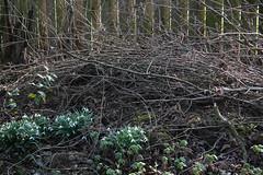 ckuchem-6380 (christine_kuchem) Tags: blumen frhblher frhling frhlingsgarten garten igel nachtquartier naturgarten naturschutz reisighaufen schneeglckchen tiere unterschlupf wildtiere winterschlaf naturnah ste