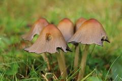 Garden Fungi (Tony Howsham) Tags: canon eos70d sigma garden fungi 18250 macro plants