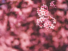 (Botond Pataki) Tags: nature closeup depthoffield dof swirly bokeh flower flowers color pink plum tree