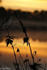 DSC07679 (christophe.perraud.44310) Tags: animaux araignees ciel eau flore herbes macro marais paysages insectes levdesoleil france loireatlantique wildlife