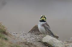 Shorelark (vause_gary) Tags: eremophilaalpestris migrant hornedlark