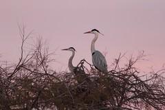 couple héron cendré parc ornithologique pont de Gau - great heron (frimoussec) Tags: couple héron cendré parc ornithologique pont de gau great heron