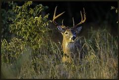 (future) monster buck (Christian Hunold) Tags: 9pointbuck whitetailedbuck whitetaileddeer whitetail deer buck weisswedelhirsch valleyforge pennsylvania christianhunold
