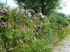 Wildflowers (TessMJG) Tags: lane country pretty hawkweed foxglove sheeps bit scabious bramble clover