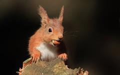 Red Squirrel      (Sciurus vulgaris) (nick.linda) Tags: redsquirrel sciurusvulgaris mammals wildandfree canon7dmkii sigma150600c squirrels northeastengland