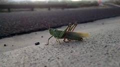 Slo-Mo Grasshopper Jump (EllenJo) Tags: video grasshopper jump slowmotion seenwhilerunning insect motox cellphone cameraphone october21 2016 ellenjo ellenjoroberts clarkdalearizona az bug