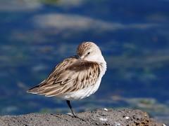 Red-necked stint resting (Hone Morihana) Tags: westerntreatmentplant shorebirds migratorybirds
