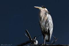 Great Blue Heron (Boreal Impressions) Tags: greatblueheron ardeaherodias pelecaniformes ardeidae bird birding nature fauna calgary pacific fall september2016 extravagant crest heron birdsofcalgary alberta bowriver sanctuary inglewood outdoor animal