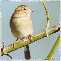Field Sparrow (RKop) Tags: a77mk2 armlederpark ohio cincinnati raphaelkopanphotography 600mmf4apogminolta sony