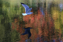 (jc.dazat) Tags: oiseau bird mouette ombre reflets reflection eau lac lake couleurs colours color automne autumn photo photographe photographie photography canon jcdazat