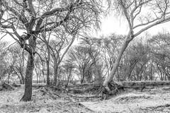 Erosion (Daniela 59) Tags: tree trees riverbed dry drought erosion blackandwhite farm farmhelenenhof otjiwarongo namibia namibianlandscape htmt treemendoustuesday danielaruppel