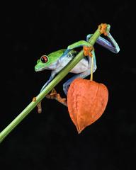 Red-eyed tree frog (hehaden) Tags: amphibian frog redeyedtreefrog agalychniscallidryas chineselantern captivelight bournemouth