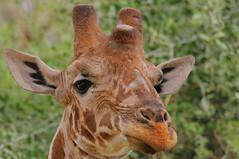 On top of the World! (Rainbirder) Tags: kenya samburu giraffacamelopardalis reticulatedgiraffe giraffacamelopardalisreticulata somaligiraffe rainbirder