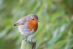 Robin (Des Daly) Tags: winter bird robin wildlife nikond700 nikon28300mm