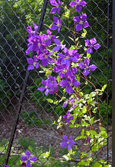 Back of the Yards Fence wih Clematis (Terryryan1) Tags: school chicago fence illinois purple clematis vine chainlink jackman schoolyard backoftheyards thechicagochain coloursplosion