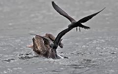 Galapagos-20140714-1633-BK2W3287-Edit (Swaranjeet) Tags: bird pelicans birds 35mm canon eos ecuador pelican galapagos pro fullframe dslr ef 2014 sjs 200400 largebirds 1dx swaran sjsphotography canoneos1dx eos1dx swaranjeet july2014 canonef200400mm canonef200400mmf4lisusm14x swaranjeetsingh swaranjeetphotography sjsvision