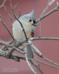 Tufted Titmouse (Windows to Nature) Tags: winter bird illinois nikon cookcounty tuftedtitmouse 2015 littleredschoolhouse nikkor300mmf4 d7000 windowstonature