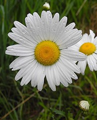 Oxeye Daisies (Chrysanthemum leucanthemum) (carsandkites) Tags: photocontesttnc12