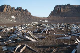 Remains of wooden barrels at Deception Island