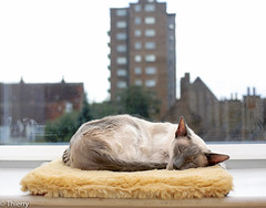 Nap (#Thierry#) Tags: blue hairy pet cute cat relax point feline nap sweet sleep dream adorable kitty fluffy siamese company dreamy lovely household gentle creamy