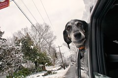 9/52 eager passenger (huckleberryblue) Tags: winter dog snow gracie hound carride coonhound bluetickcoonhound week9 52weeksfordogs