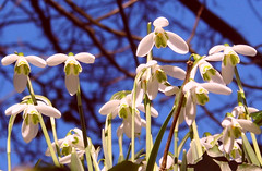Against A Blue Sky! ('cosmicgirl1960') Tags: flowers blue trees sky white green nature gardens spring branches parks devon snowdrops yabbadabbadoo worldflowers