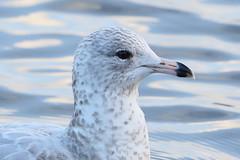 Ring-billed Gull (Calidris!) Tags: uk falmouth ringbilledgull larusdelawarensis swanpool